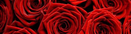 red-roses-photo