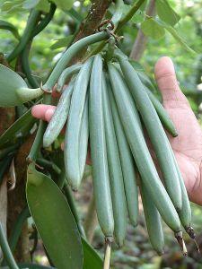 450px-Vanilla_beans