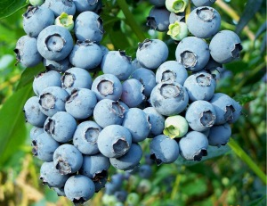 Blueberry_Cluster